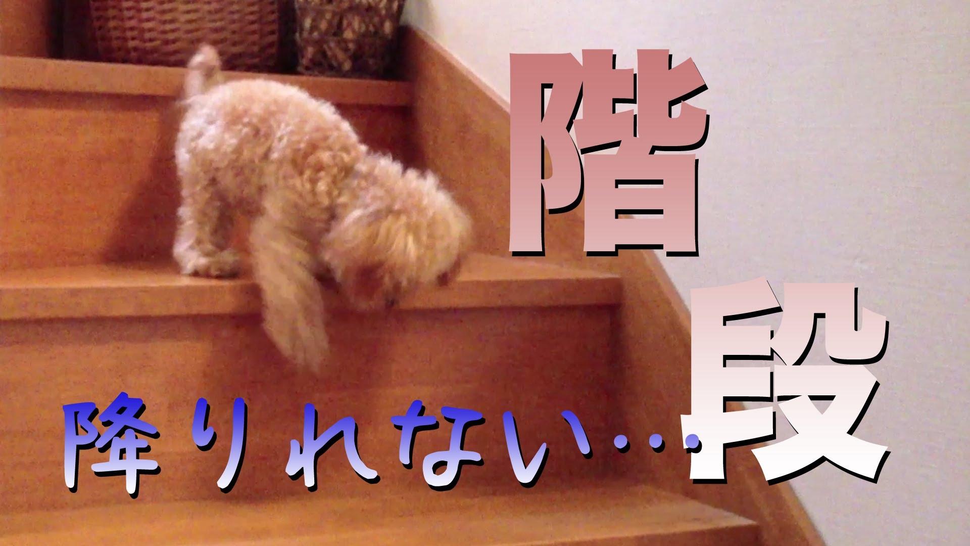 【トイプードル】の可愛い動画集