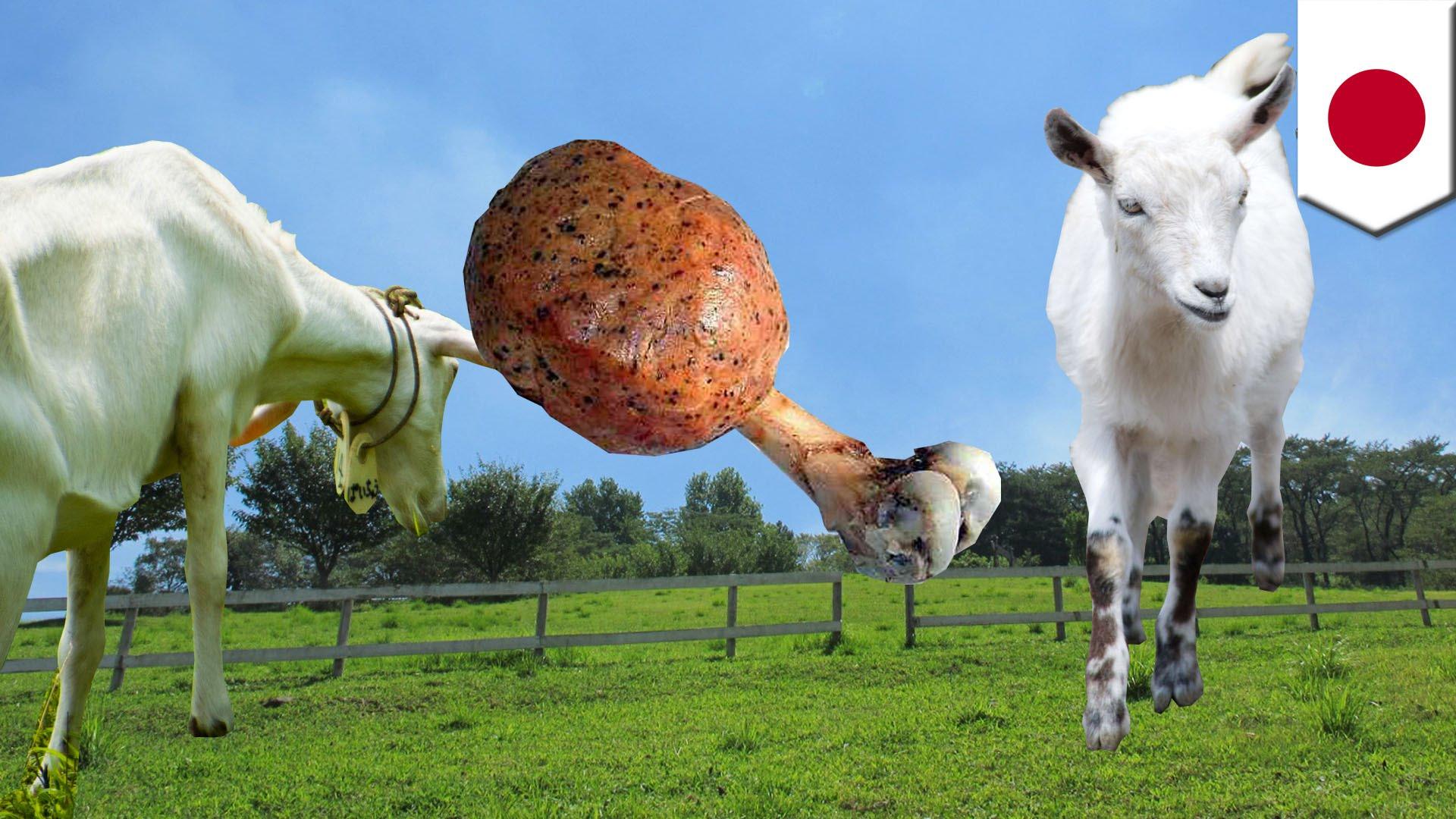 「ヤギの除草隊」のヤギがベトナム人に食べられた!!
