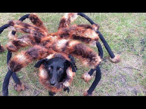 犬が巨大なクモに化けてドッキリ!