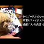 トイプードル虐待動画