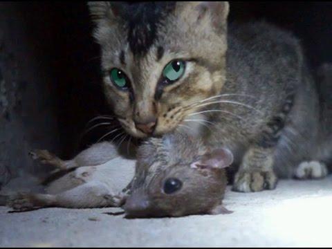 【閲覧注意】ネズミを食べる猫【閲覧注意】
