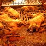 ニュースで報道されない被災地の動物たち・・・