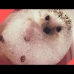 超かわいいハリネズミの動画集~