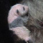パンダの赤ちゃん!