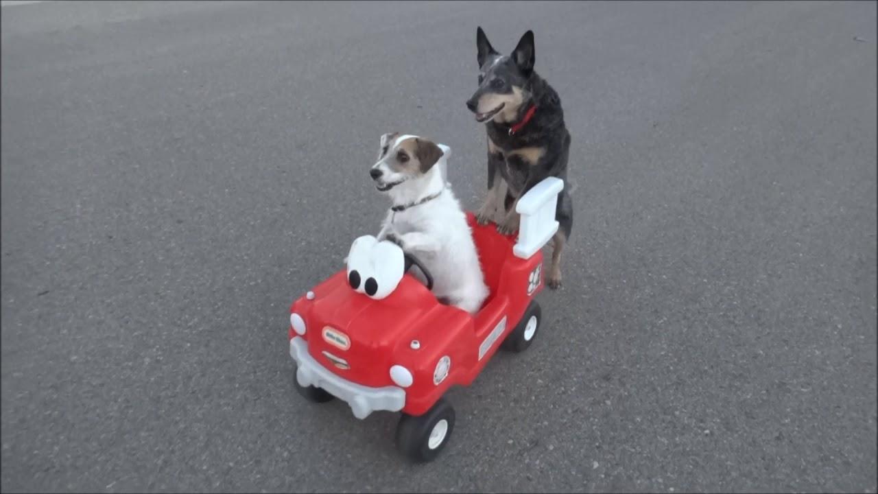 賢すぎる犬 ジェシー君(ジャックラッセルテリア)
