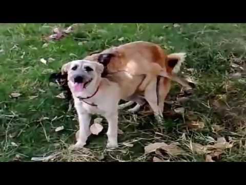 犬がやってる?! 犬の交尾動画