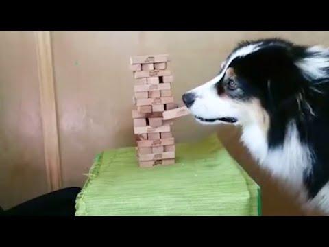 ジェンガをする犬!