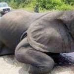 【閲覧注意】象牙のために、顔を剥ぎ取られる「ゾウ」