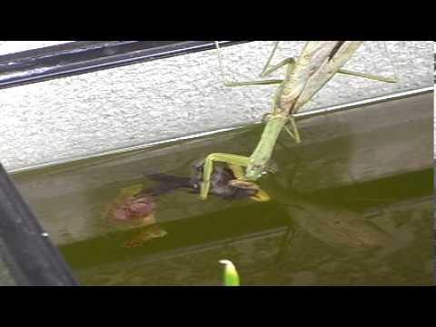 【衝撃】カマキリが金魚などを食べる動画
