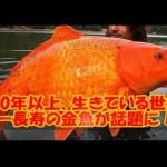 40年以上生きている世界一長寿の金魚にギョ!
