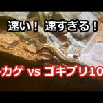 二ホントカゲ対ゴキブリ Lizard vs cockroach