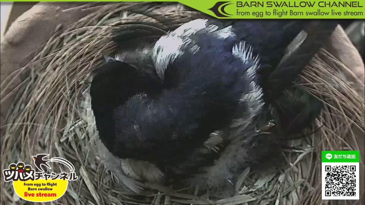 ツバメの雛が巣立つまでLIVE配信!